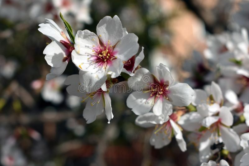 Flowers of almond in winter royalty free stock image