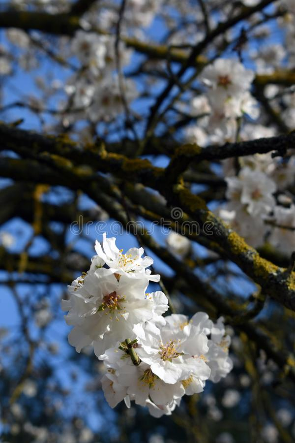 Flowers of almond in winter royalty free stock images