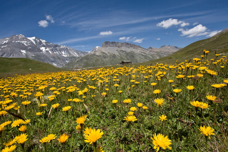 Download Flowers in Alpine meadow stock photo. Image of blossom - 10353464