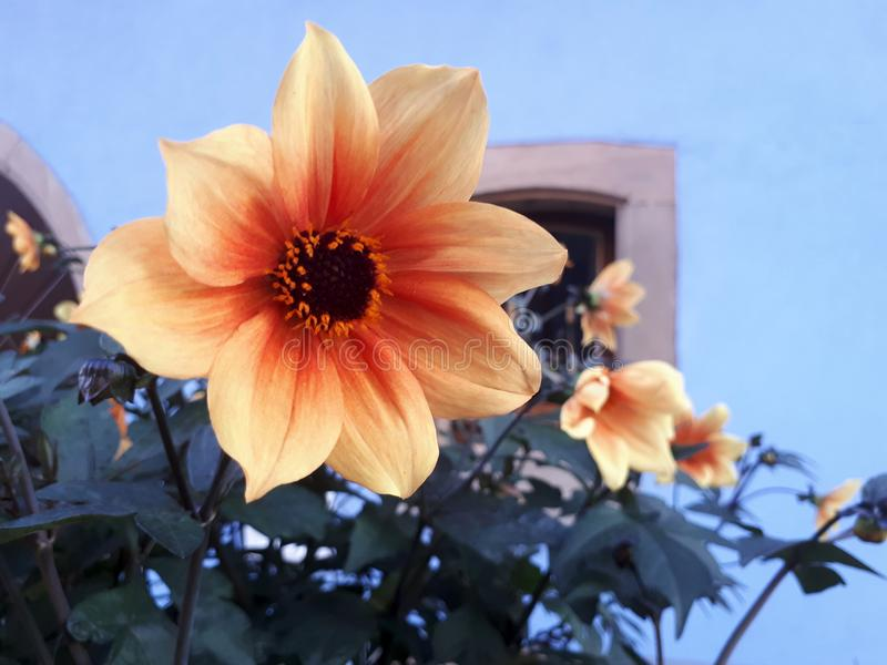 Flowers in Alsancia, France stock images