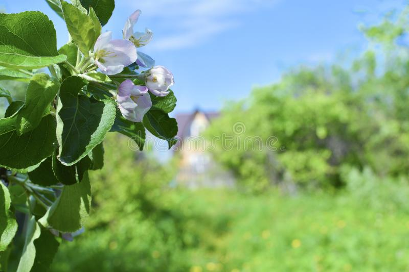 Flowers of apple against the background of the garden, the sky and a country house stock image