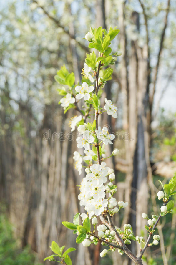 Flowers of apple royalty free stock photo