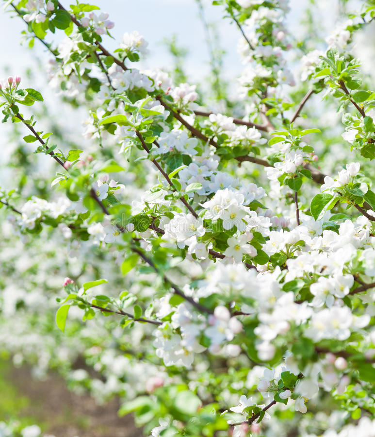 The flowers of apple tree royalty free stock photography