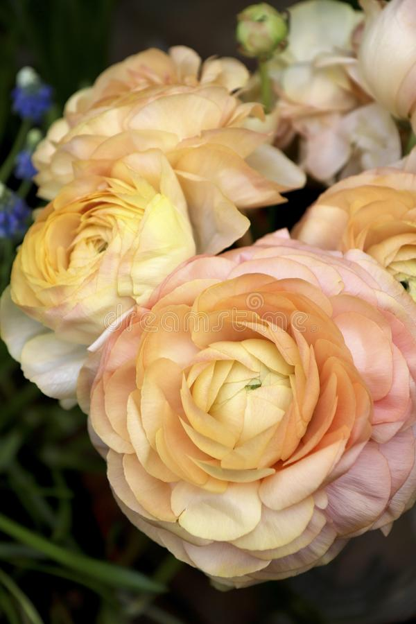 Flowers Asian Buttercup Ranunculus. Light yellow beige color of the flower stock photos