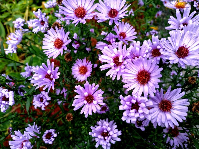 Flowers of Aster alpinus stock photography