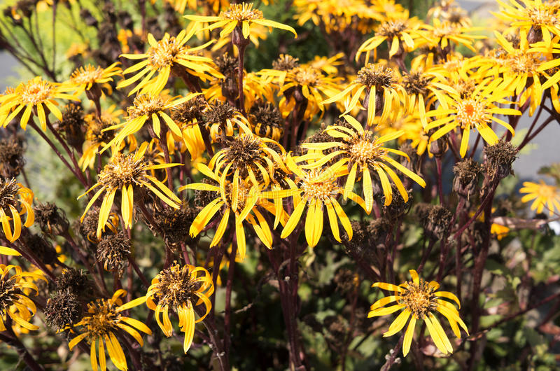 Flowers of Asteraceae or Ligularia. royalty free stock photo
