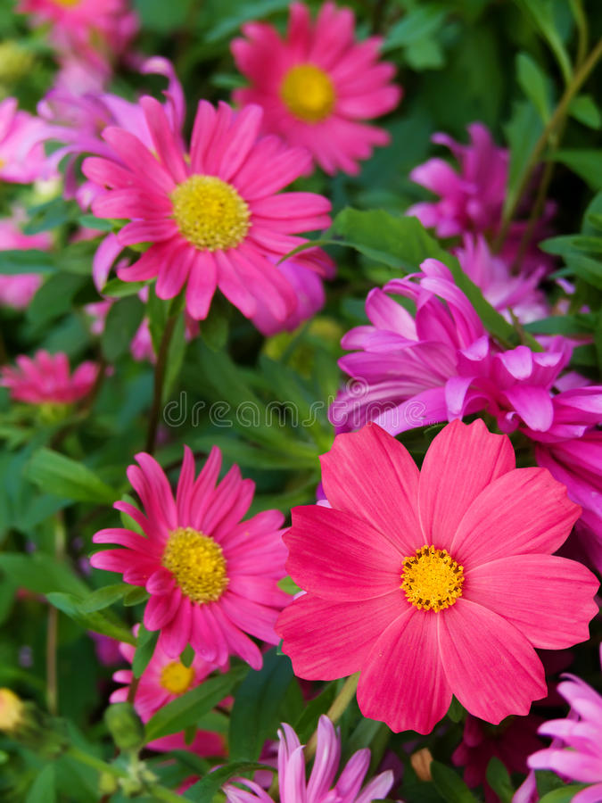 Free Flowers Asters Camomiles Royalty Free Stock Images - 12316489