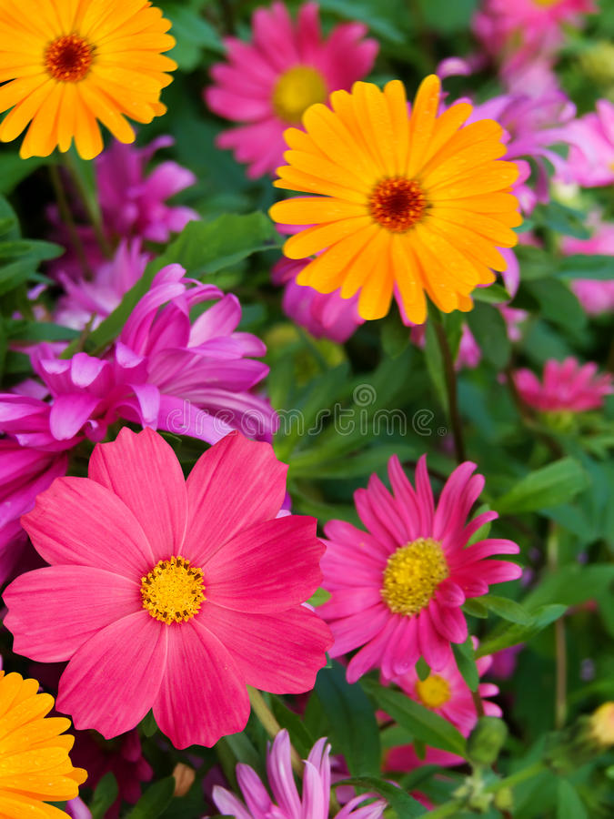 Free Flowers Asters Camomiles Royalty Free Stock Images - 12316529