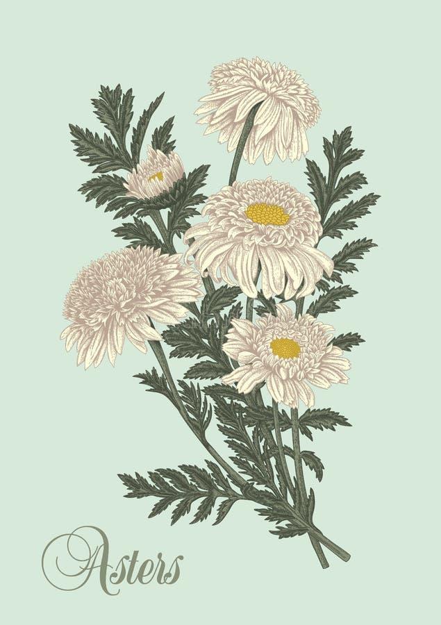 Flowers. Asters. Summer bouquet. Vector illustration in vintage style. Botany. Elegant card. vector illustration