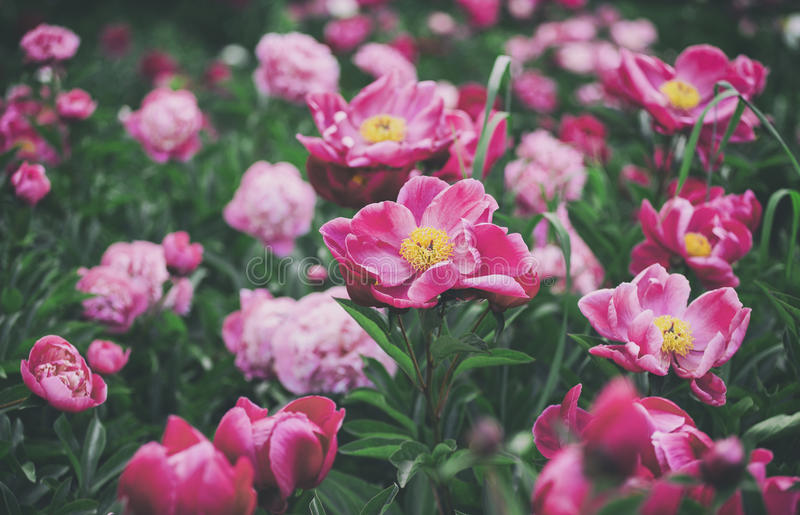 Flowers background. Beautiful pink and red peonies in field stock photo