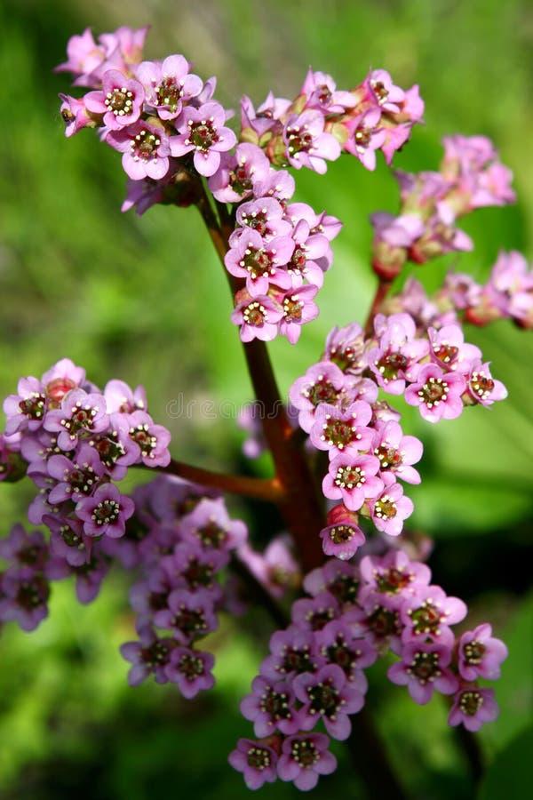 Free Flowers. Badan Stock Photography - 9707652