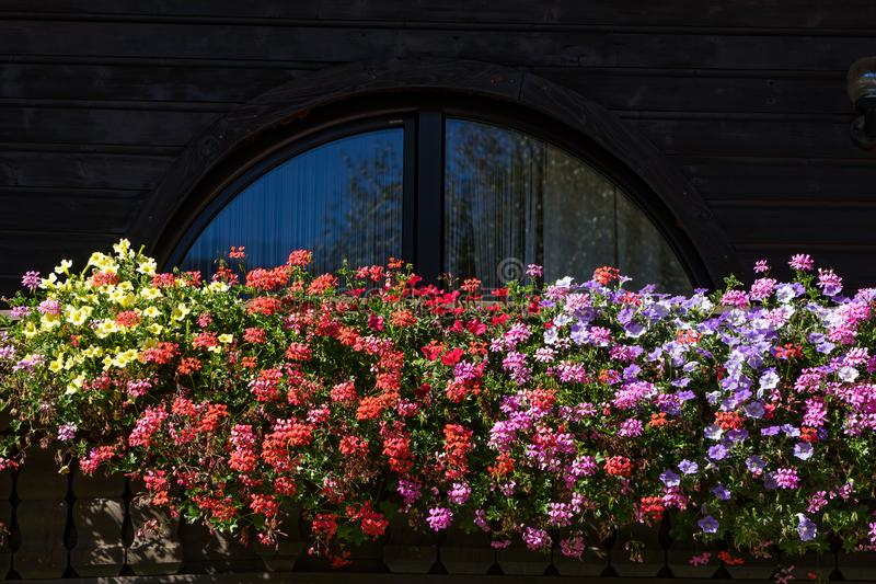 Flowers on the balcony. Pelargonium blossom is blooming. White bloom on the window ledge. Flowers on the balcony. Pelargonium blossom is blooming. White bloom stock photography