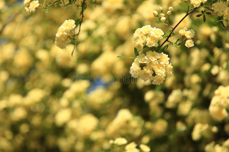 Flowers of Banksia rose royalty free stock images