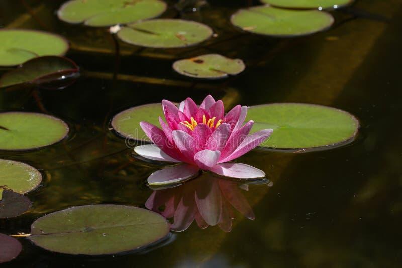 Beautiful lotus flower in pond. Flowers / Beautiful lotus flower in pond stock images