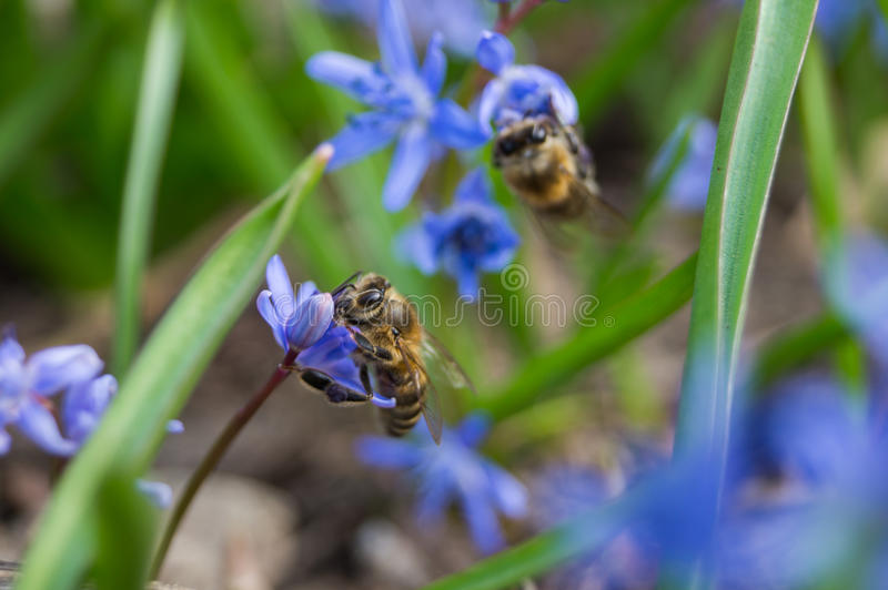 Flowers and bees royalty free stock photography