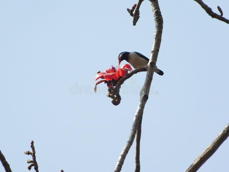 Bird eating cotton tree flowers. These flowers belongs to cotton tree. This tree is famous for its big red flowers which sprouts from March to May in India. It& royalty free stock image