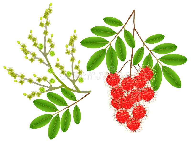 Flowers and berries rambutan isolated on white background. royalty free illustration