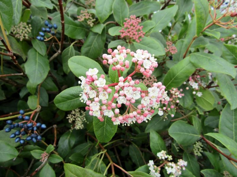 Download Flowers And Berries Of Viburnum Tinus / Laurustinus Viburnum. Stock Image - Image of flowering, flora: 109902553