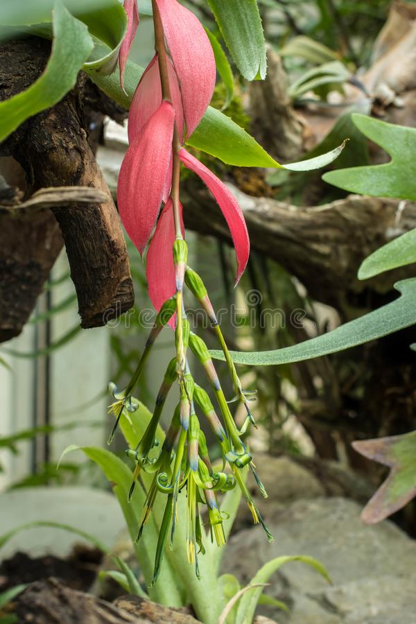 Flowers of Billbergia nutans / Queen's Tears royalty free stock photos
