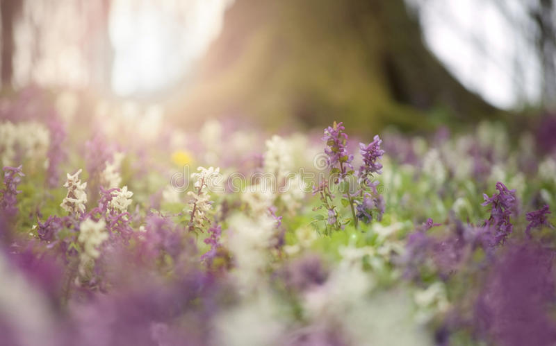 Flowers in bloom in a forest in spring royalty free stock photography