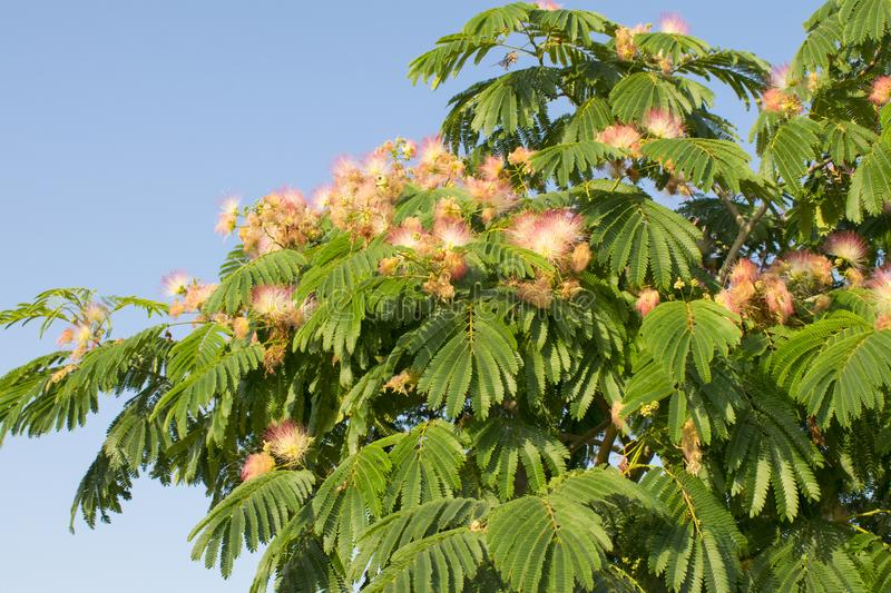 Flowers on blooming Albizia julibrissin Persian silk tree, Pink silk tree royalty free stock images