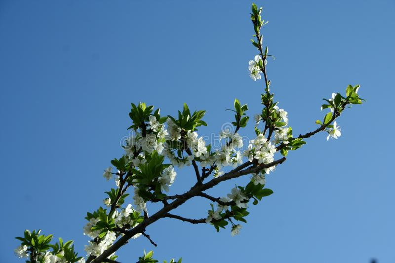 A Blooming apple tree royalty free stock image