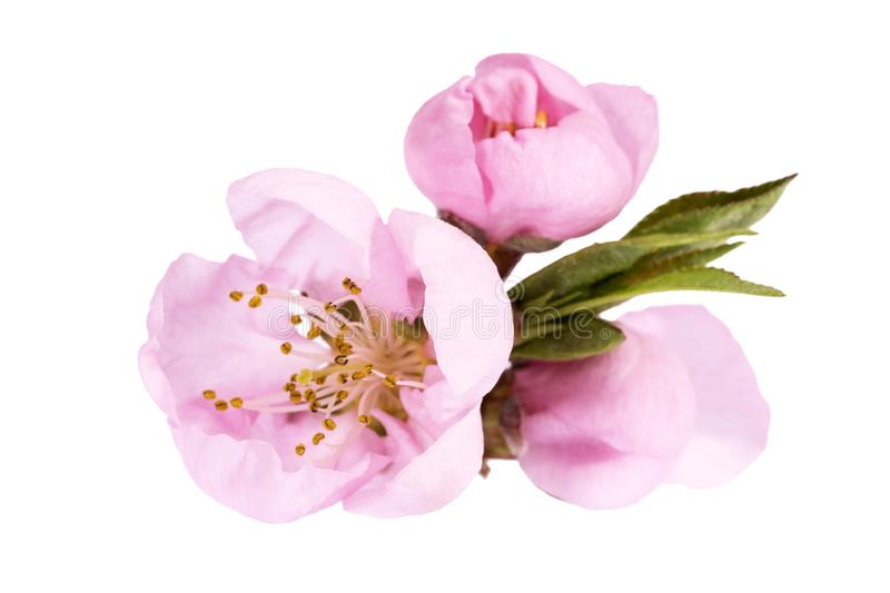Flowers of blooming flowering peach tree isolated on white background royalty free stock photography