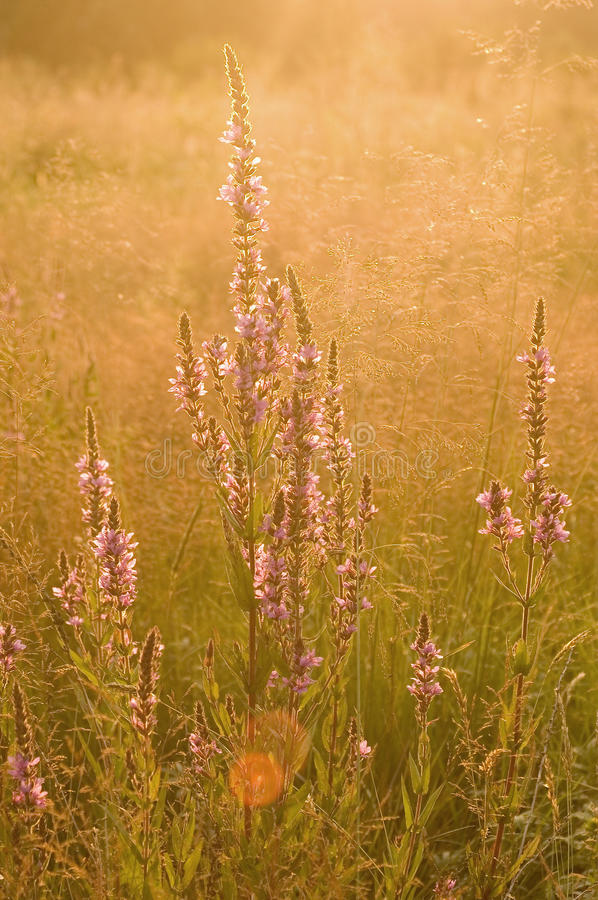 Flowers Blooming In Meadow Royalty Free Stock Images