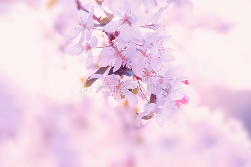 Flowers blossom in spring. Nature floral beautiful pink background stock images