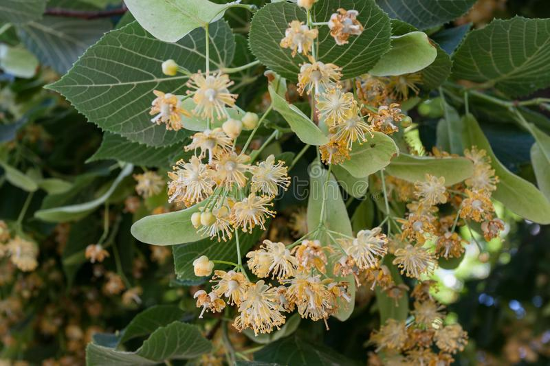 Flowers blossoming tree linden wood, used for the preparation of healing tea, spring royalty free stock images