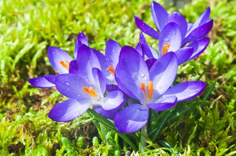 Flowers of blue crocuses on a sunny spring day stock photography