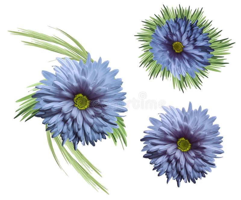 Flowers are blue-violet with green leaves in watercolor style. Light blue chrysanthemum isolated on white background. For design; vector illustration