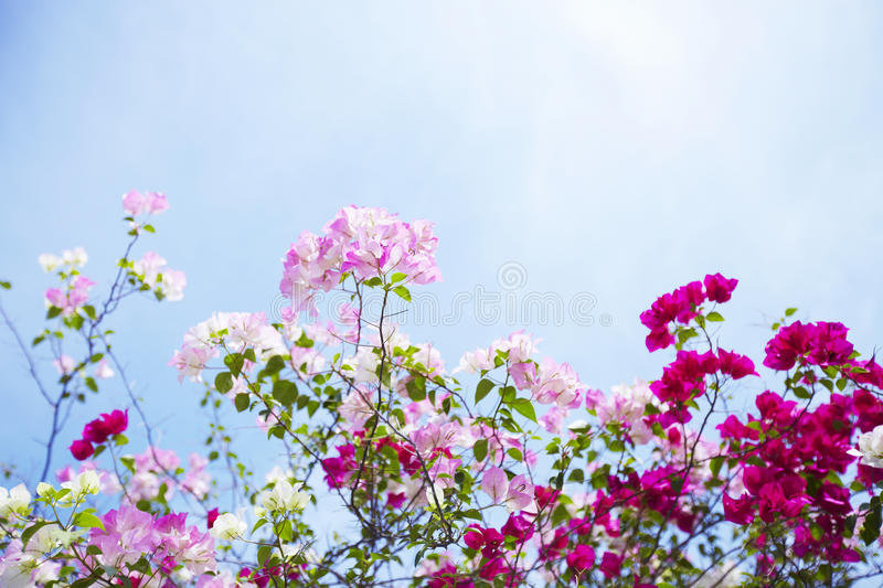 Flowers of bougainvillea stock images
