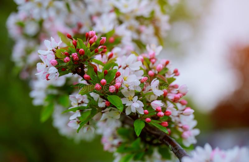 Flowers on a branch in the spring, apple tree stock photo