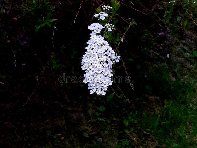 The flowers from the bridal spirea hang like jewelry royalty free stock photo