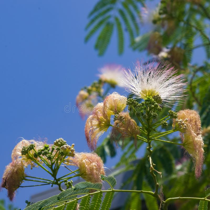 Flowers and buds on blooming Persian silk tree, Albizia julibrissin, with bokeh background, close-up, selective focus. Shallow DOF stock photography