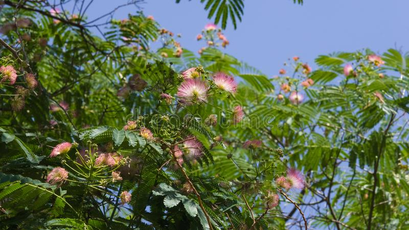 Flowers and buds on blooming Persian silk tree, Albizia julibrissin, close-up, selective focus, shallow DOF.  stock image