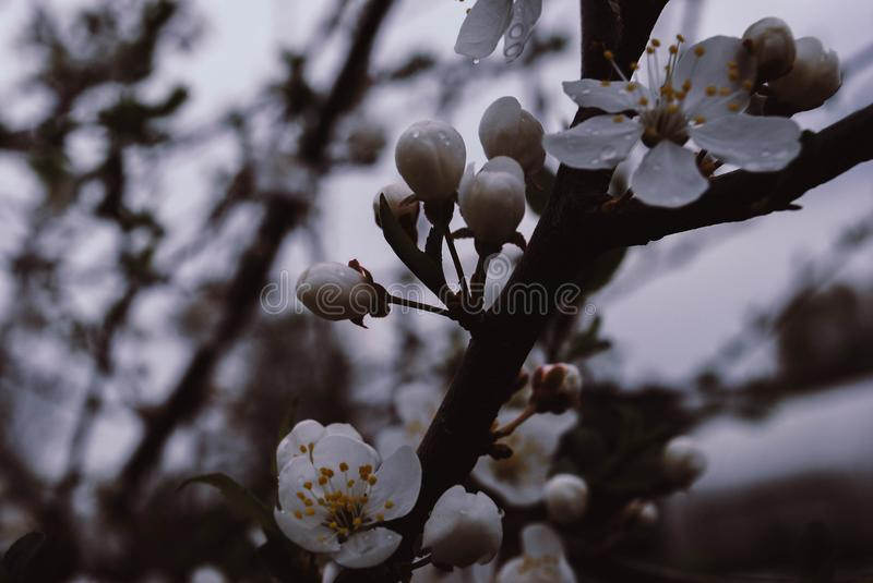Flowers and buds of cherry in cloudy weather. Photo royalty free stock image