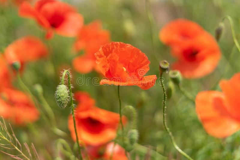 Flowers and buds of poppies growing wild in a field against a background of green grass. Selective focus. Flowers and buds of poppies growing wild in a field royalty free stock photo