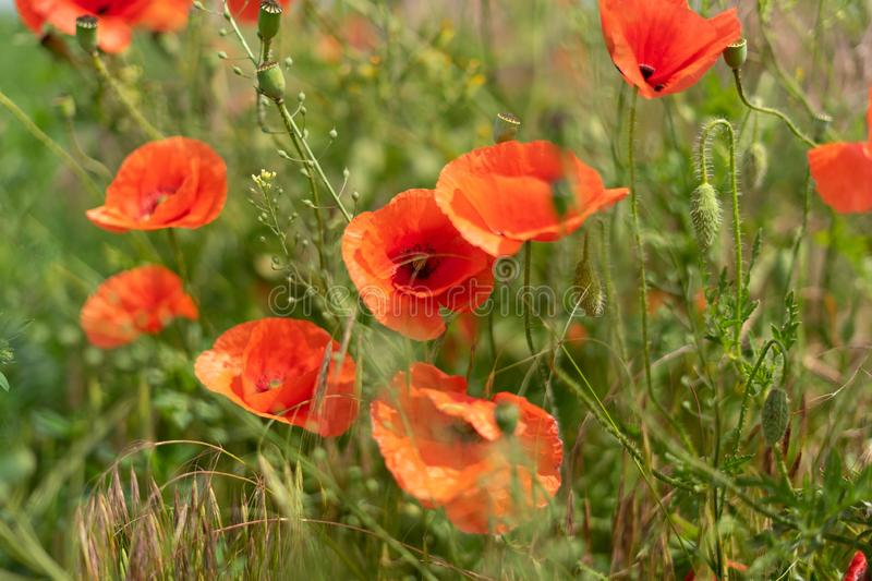 Flowers and buds of poppies growing wild in a field against a background of green grass. Selective focus. Flowers and buds of poppies growing wild in a field royalty free stock image