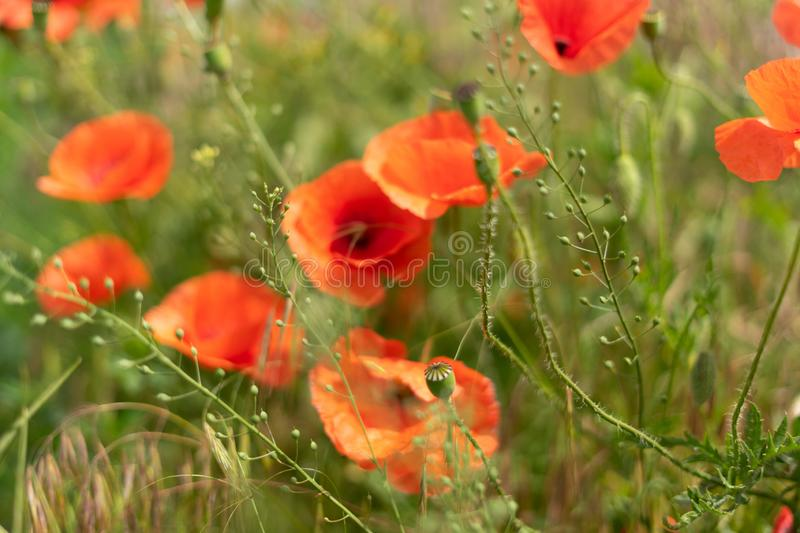 Flowers and buds of poppies growing wild in a field against a background of green grass. Selective focus. Bright, life, natural, summer, sky, color, plant stock images