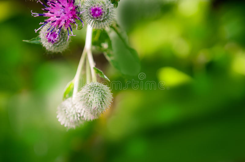 Flowers of burdock with closed heads. On green background royalty free stock photos
