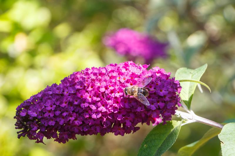 Flowers of butterfly bush and bee. In a garden during summer royalty free stock photos