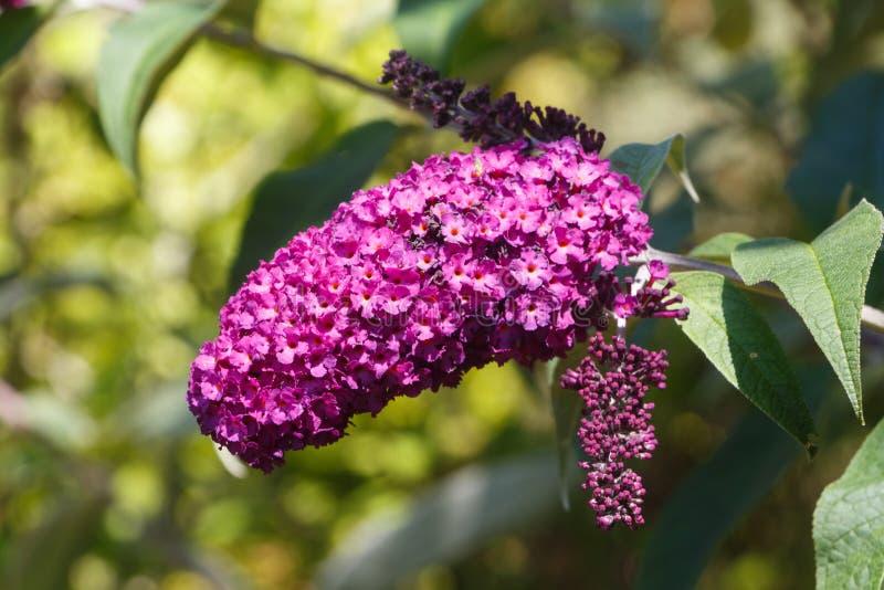 Flowers of butterfly bush. Purple flowers of butterfly bush in a garden during summer stock photo