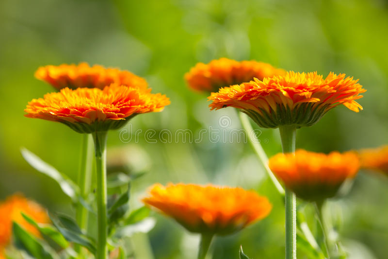 Flowers Of Calendula Stock Photo