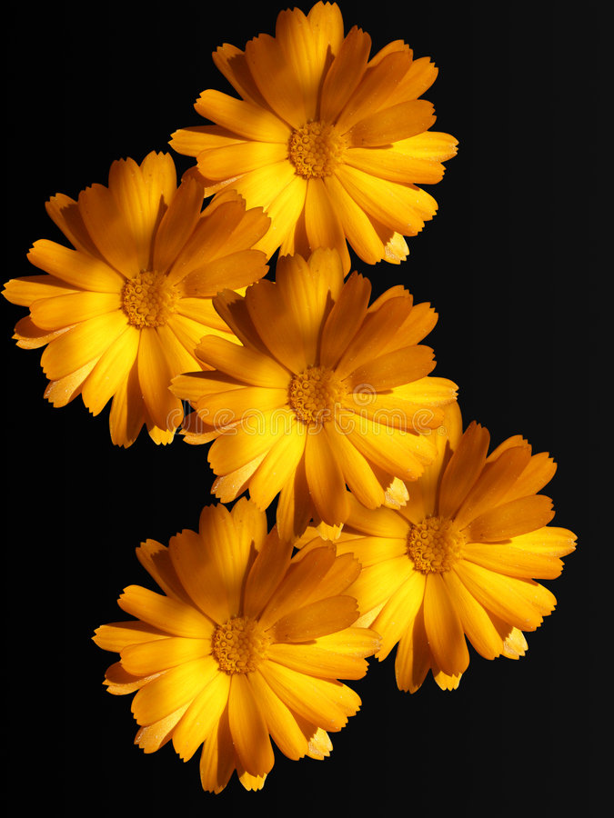 Download Flowers Of A Camomile With Yellow Petals Stock Image - Image: 7202841