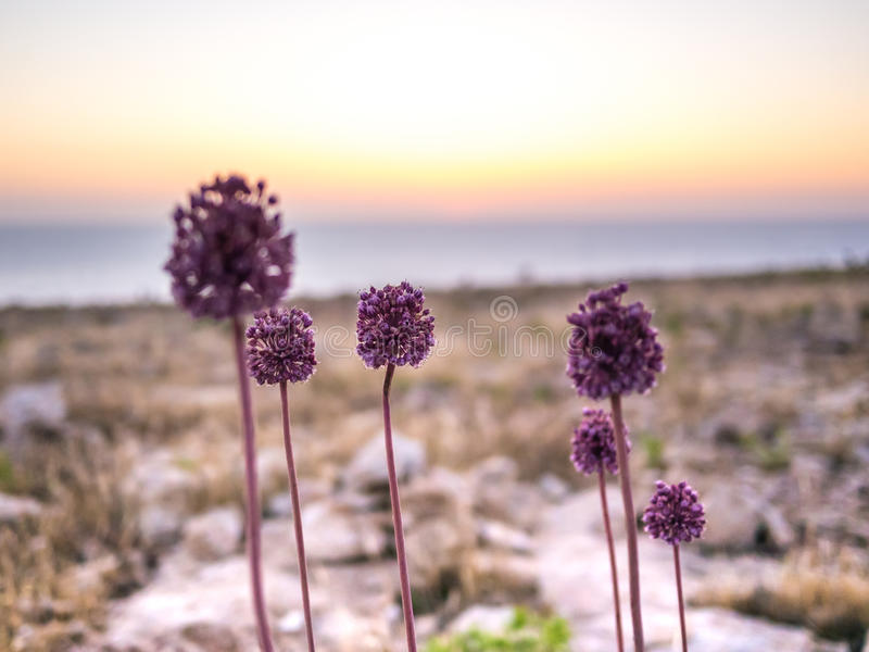 Flowers of the Cape. Flowers in the Barbaria cape, in Formentera, Spain stock images
