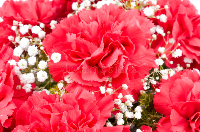 Download Flowers of carnations stock photo. Image of close, white - 8567330