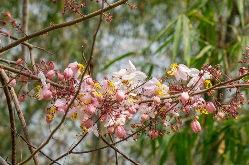 Flowers of Cassia bakeriana or common name Horse Cassia, Pink Shower or Wishing Tree. royalty free stock photos