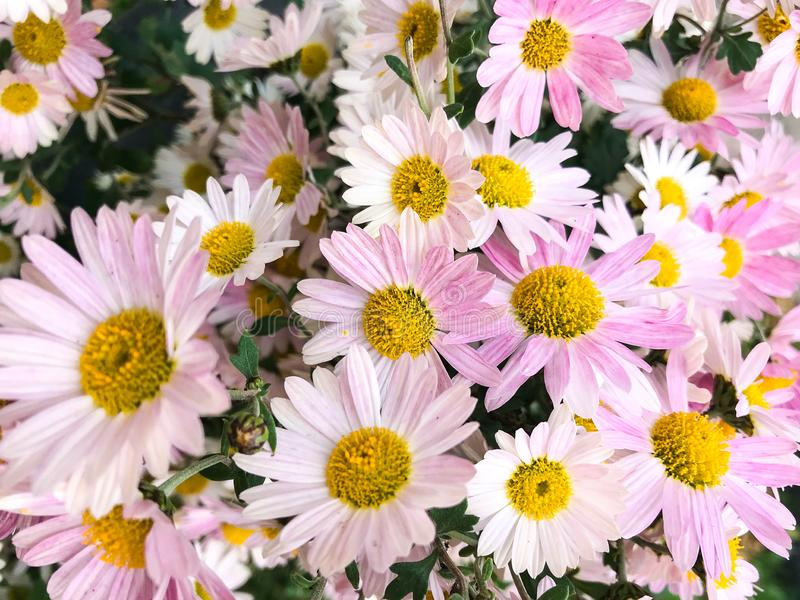 Flowers. Chamomile or camomile is the common name for several daisy-like plants of the family Asteraceae royalty free stock photo